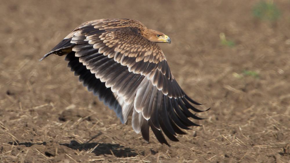 Sikeres volt a madármentés: újabb parlagi sasok térhettek vissza a szabadba
