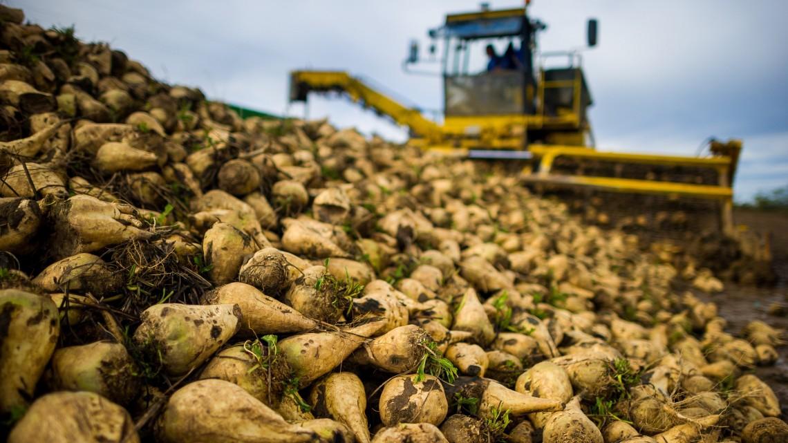Bajban vannak a magyar gazdák: gyenge lett az idei cukorrépa termés
