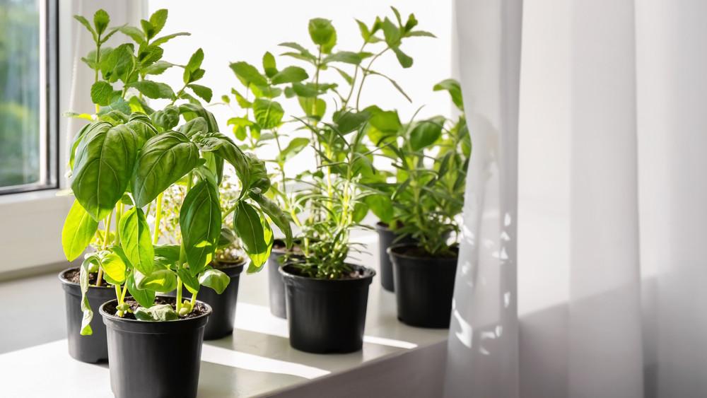10 ehető konyhakerti növény: ezek télen, a szobában is megteremnek