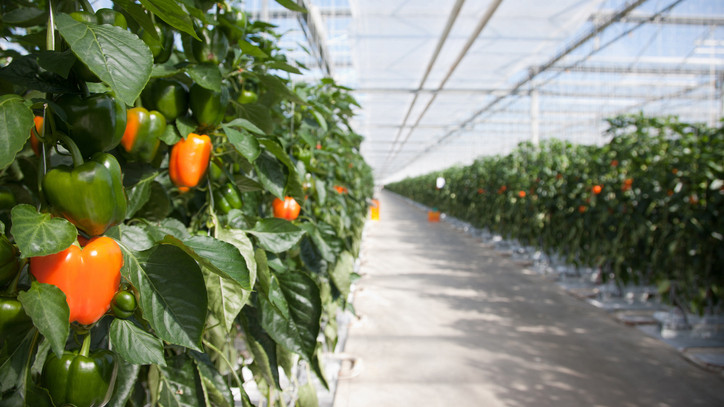 Gigafejlesztések az agráriumban: felbolygatják a zöldségpiacot az új üvegházak