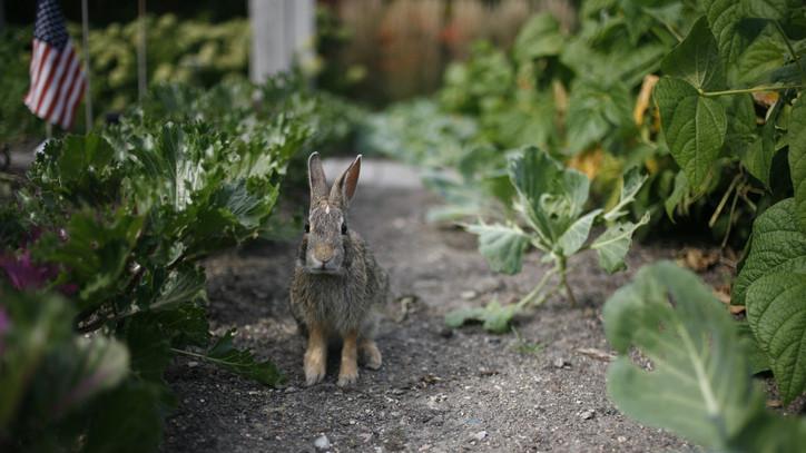 Nem várt vendégek: egyre gyakrabban merészkednek a kertekbe az erdei állatok