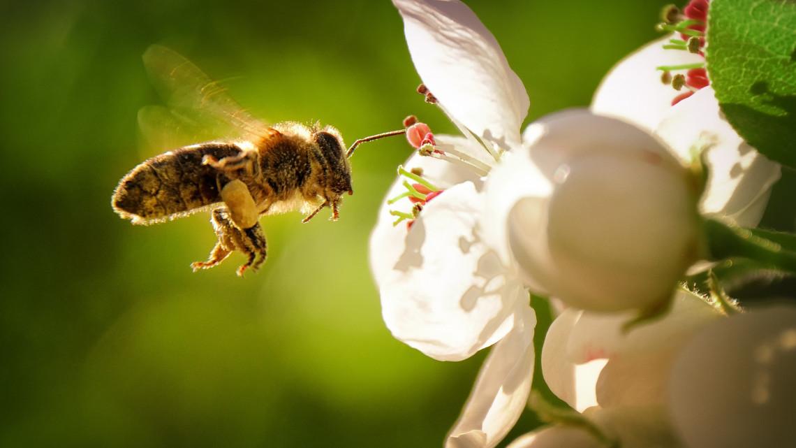 Ez még csak a kezdet: ide vezethet a méhek rohamos pusztulása