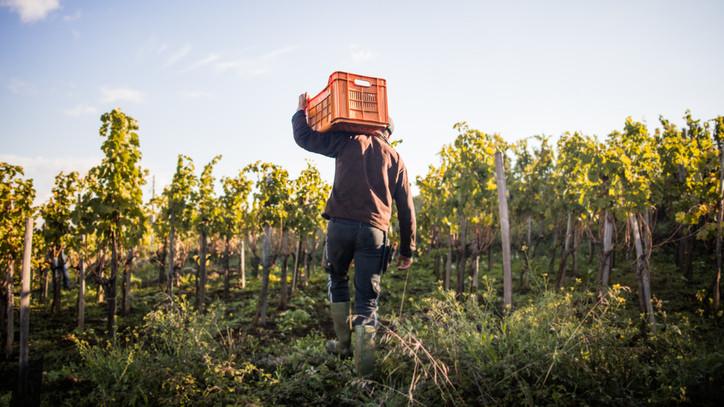 Nem kedvezett az időjárás a szőlőnek: átlagos az idei termésmennyiség