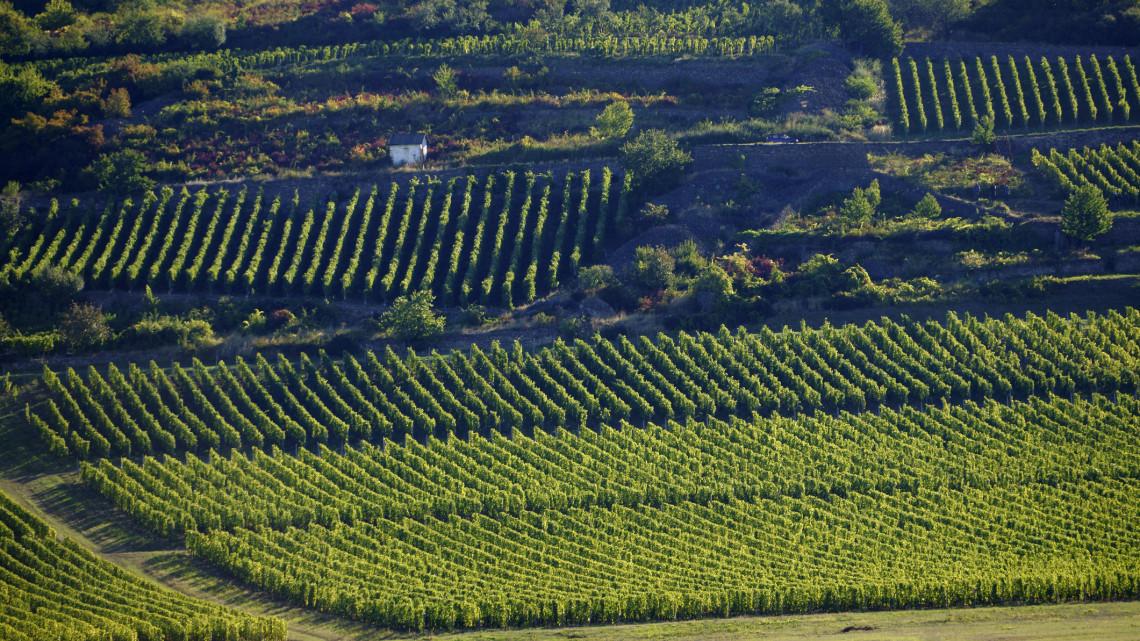 Megszólaltak a borászok: kiváló évjárat lesz a 2019-es, sok és jó minőségű a szőlő