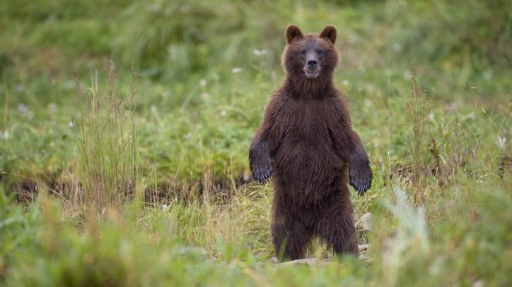 Óvatosságra intik a kirándulókat, sportolókat: medve kóborolt Mázsaháza környékén