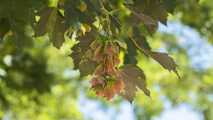 Ez az év fája 2020-ban: te ültetnél otthon a kertben tatár juhart? + FOTÓ