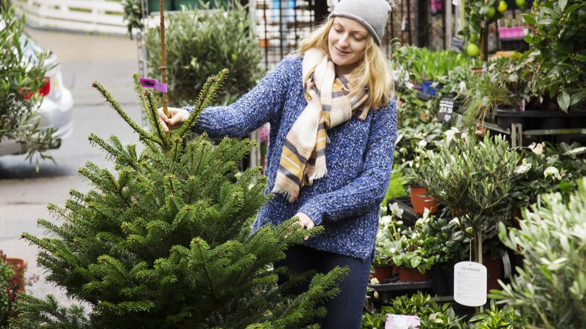 Szívmelengető hír karácsony előtt: olcsóbb lehet idén a magyarok kedvenc fenyője