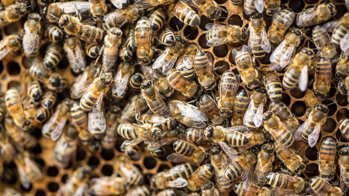 Megvan a megoldás: így lehetne megmenteni a magyar méheket a pusztulástól