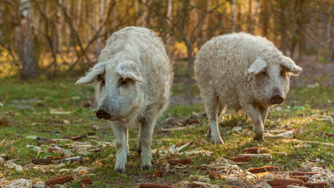 A románok azt gondolják, hogy a mangalica egy őshonos román sertésfajta