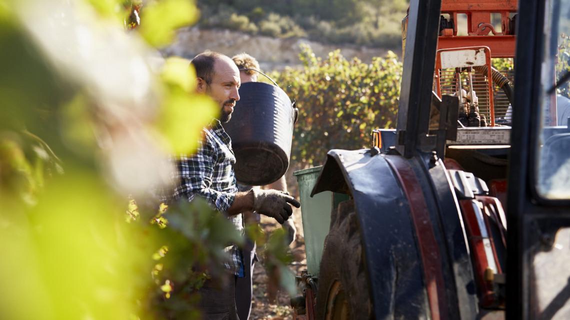 Hatalmas károkat okozott az aszály: a vártnál is kevesebb lesz az idei bortermés
