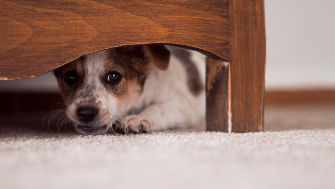 A halálba rohanhatnak: szörnyű veszedelem a szilveszter a kutyáknak