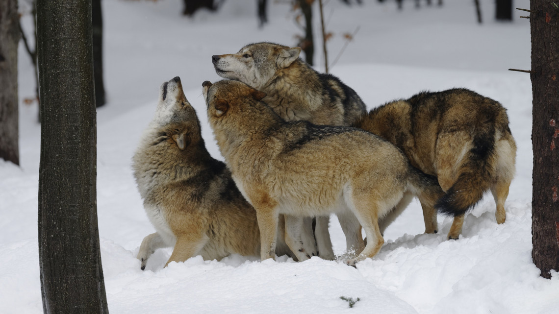 Farkasfalkát videóztak a Bükkben: lakott területhez egészen közel bóklásztak