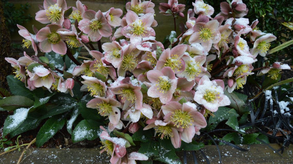 Ez a 14 csodaszép virág télen is nyílik: a kerted ékkövei lehetnek