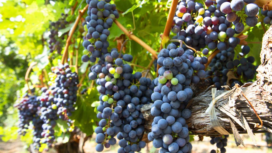 Jó hír a szőlőtermesztőknek: bőséges termést jósoltak a gazdák