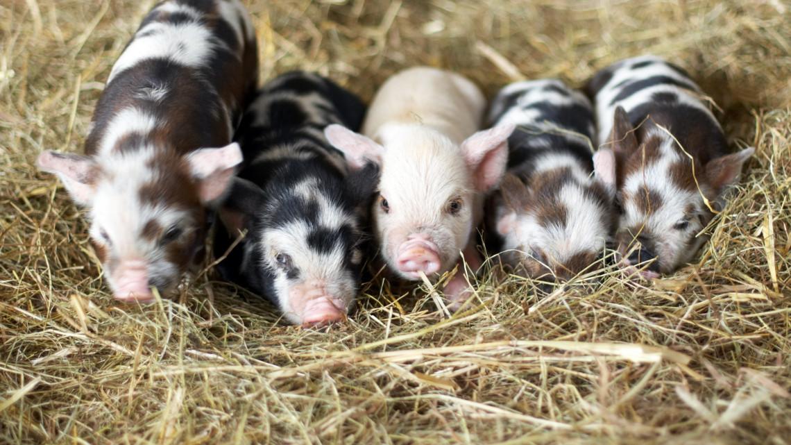 Őrületesen cuki az állatkertben született 7 kismalac: így bújnak egymáshoz