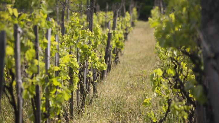 Ennek örülni fognak a borászok: pályázatot hirdetnek a szőlőültetvények korszerűsítésére