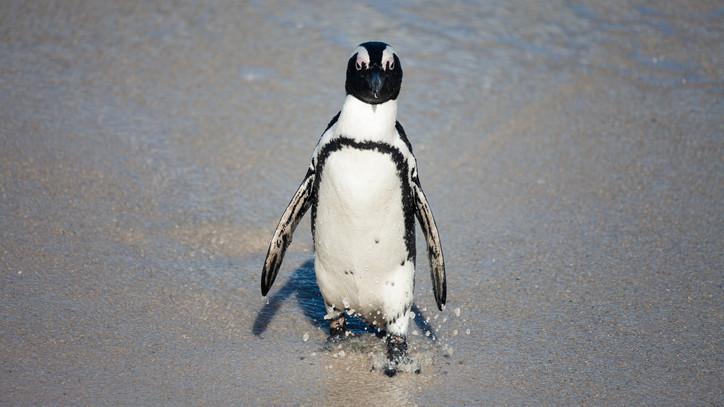 Baby boom: pingvinfiókával gyarapodott a Szegedi Vadaspark
