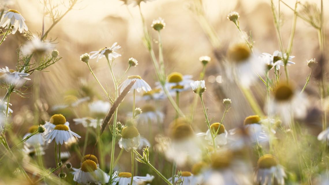 Élesedik a mesterterv: újra gyógynövény-nagyhatalom lehet az ország