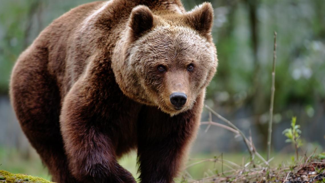 Vasárnap megjósolják a budakeszi medvék, mikor jön a tavasz