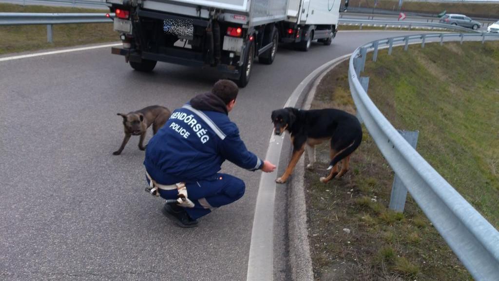 Videón a mentés: kutyák rohangáltak az autópályán, rendőrök képtek közbe