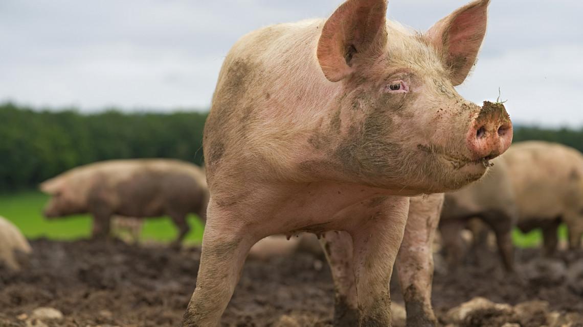 Nagyot kaszálnak a sertéspestisen a magyar gazdálkodók: egekben az árak