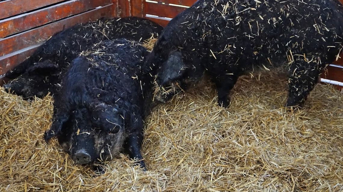 Döntöttek: védett őshonos mezőgazdasági állatfajta lett a fekete mangalica