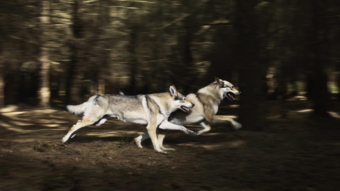 Farkasok támadtak Füzérnél: videón a rendkívüli eset