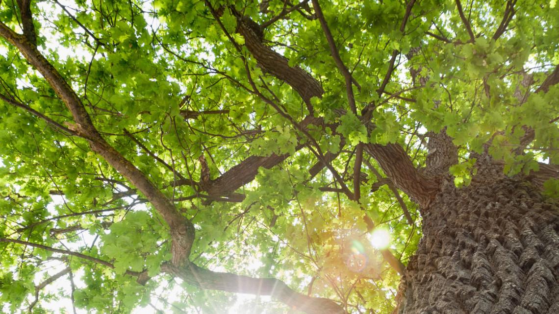 Kaposvári lehet az Európai év fája: február végéig lehet rá szavazni