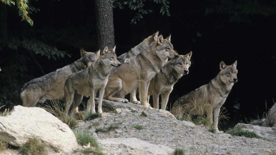 Kiderült: ennyi farkas él jelenleg a Bükkben