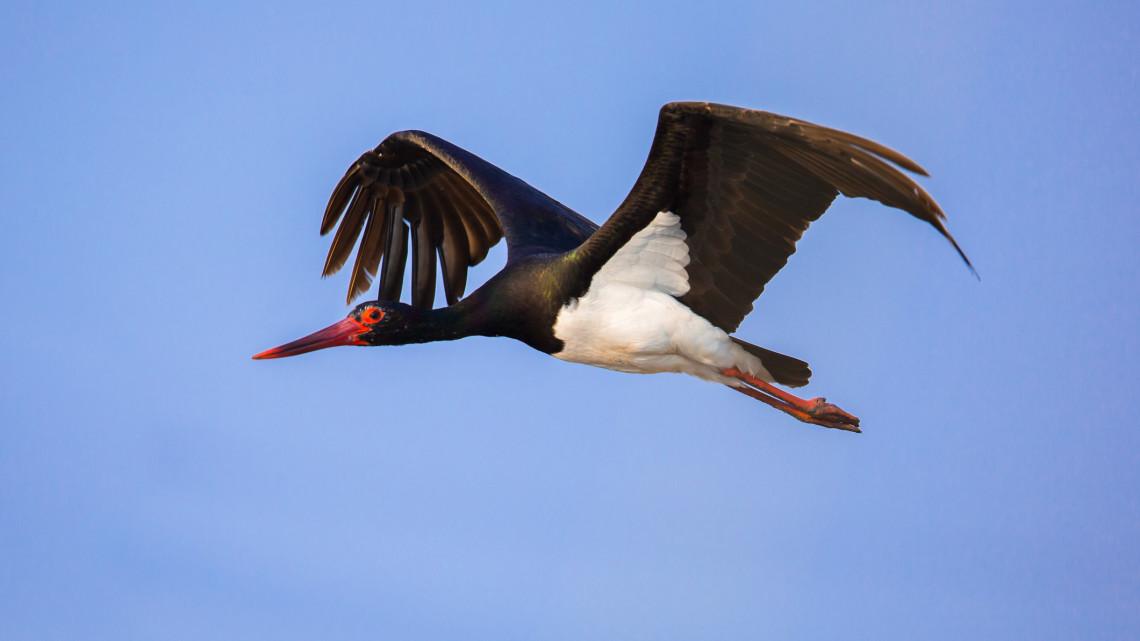Indul a gemenci valóságshow: nyolcadik éve közvetítik a fekete gólyák életét