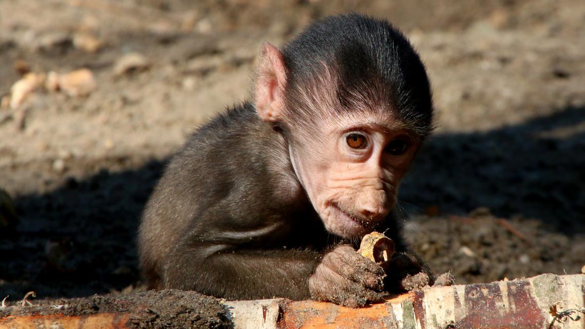 Videón a Veszprémi Állatkert sztárja: anyukájának tekinti gondozóját