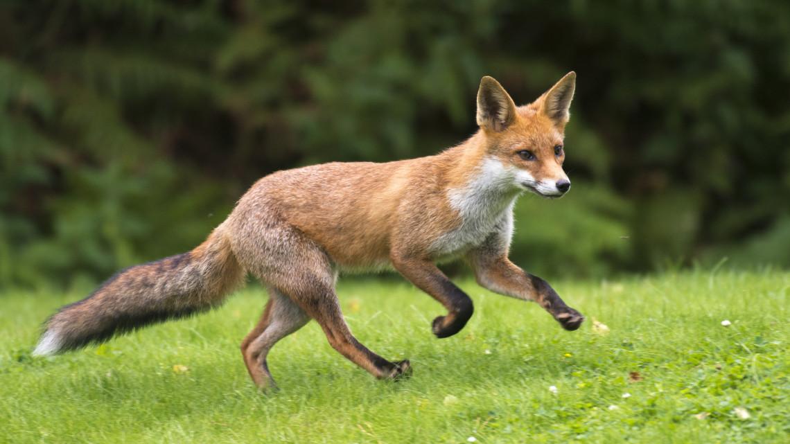 Már a belvárosba is bemerészkednek: rókát videóztak Pécsen