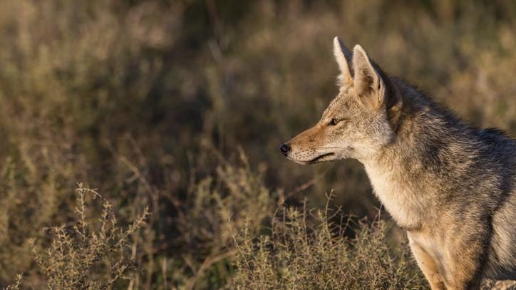 Hatalmas nádi farkast ejtett el a vadász: több ezer példány kódorog a somogyi erdőkben