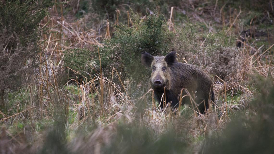 Engedélyezték Pécsen a vaddisznóvadászatot: itt garázdálkodnak az állatok