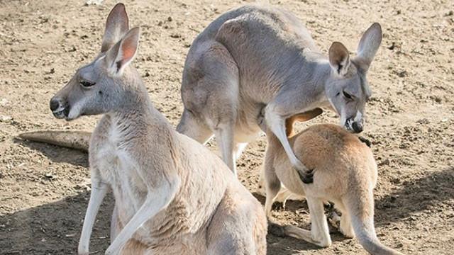 Hihetetlenül aranyos kengurubébik születtek Nyíregyházán: megmutatták őket