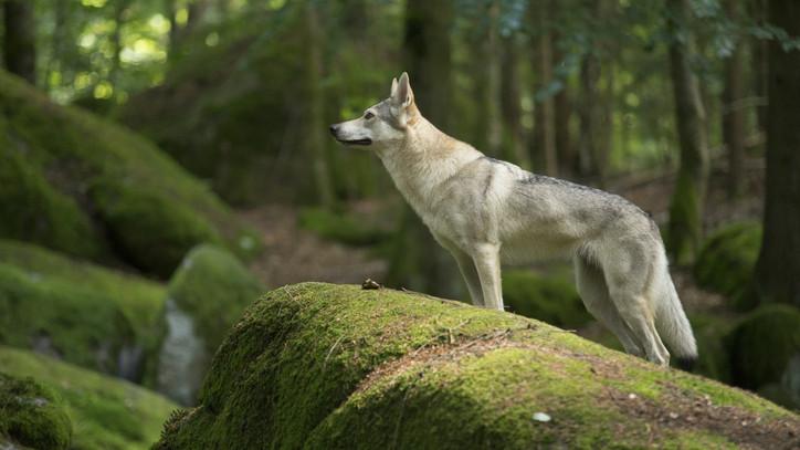 Kameracsapdán a felvétel: újra farkas portyázik a Börzsönyben