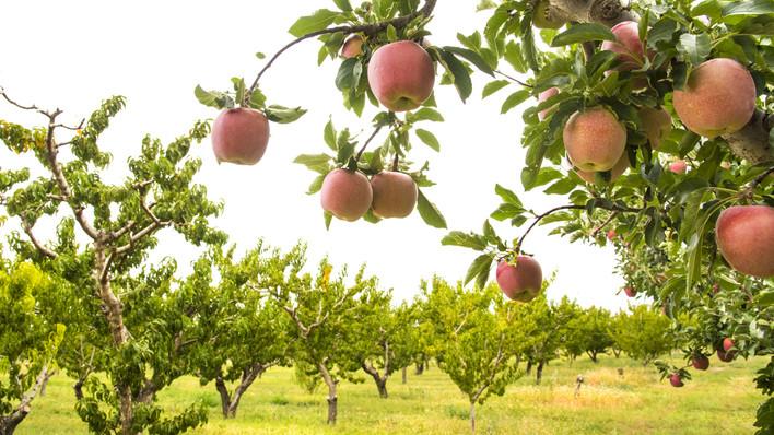 Egekben a gyümölcsök ára: őrület, mennyit spórolhatsz egy saját gyümölcsfával
