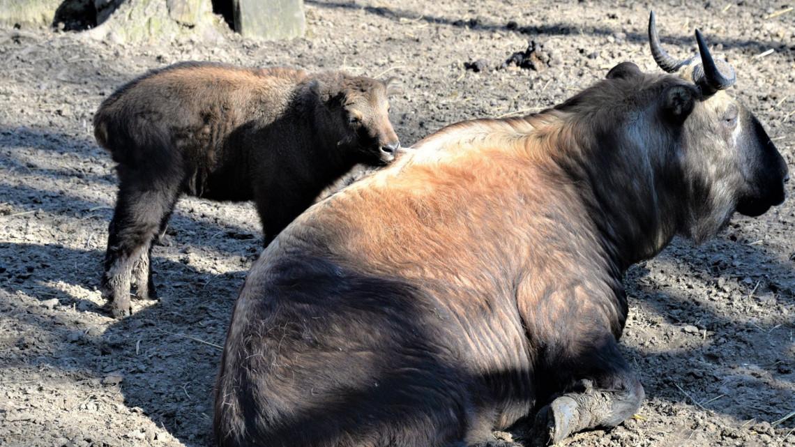 Igazi ritkaság: különleges borjú született a Nyíregyházi Állatparkban