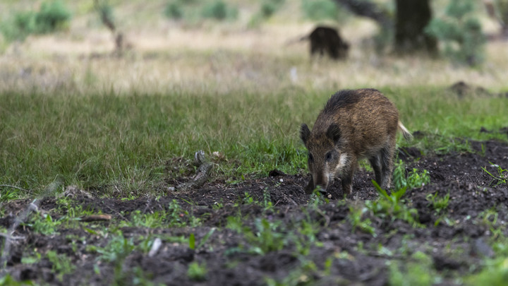 Hívatlan vendégek: vaddisznók kószálnak a balatoni településeken