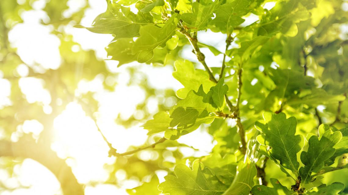 Eddig bírta: kidőlt az egyik legöregebb tölgyfa a Szarvasi Arborétumban