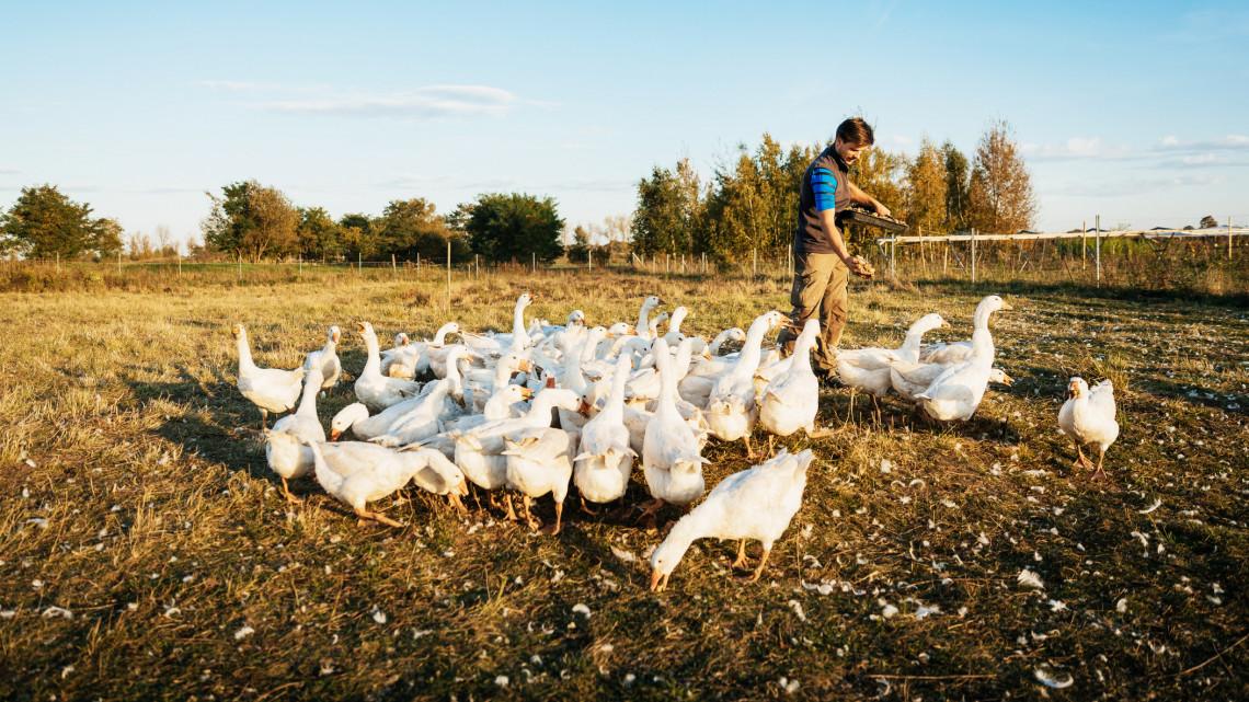 Újra megjelent a madárinfluenza: egy Bács-Kiskun megyei gazdaságban ütötte fel a fejét a vírus