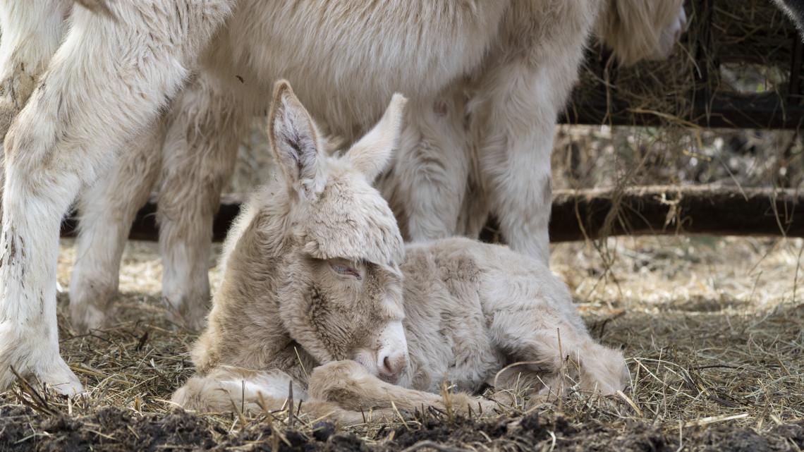 Újabb aprósággal gyarapodott a Debreceni Állatkert: parlagi szamárcsikó született