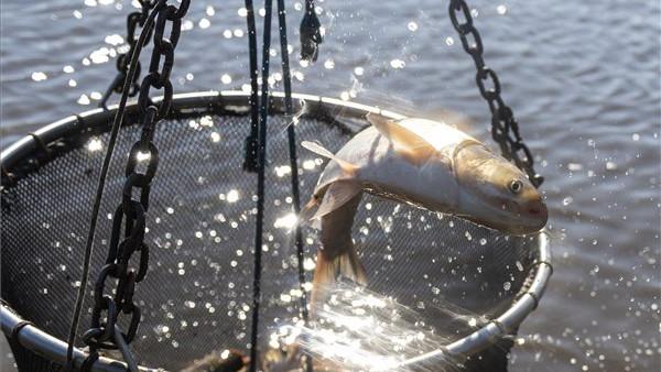 Lehalászás a tiszavasvári tóegységnél: csökkent az értékesítés a koronavírus-járvány miatt