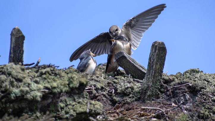 Figyelmeztet a madárvédelem: veszélyes helyre költözhetnek a partifecskék