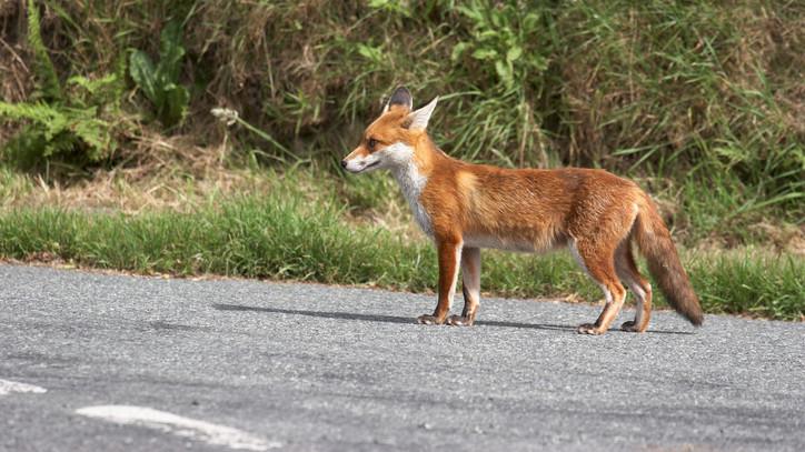 Nem várt látogató: videóra vették a Nyírszőlős utcáin sétáló állatot