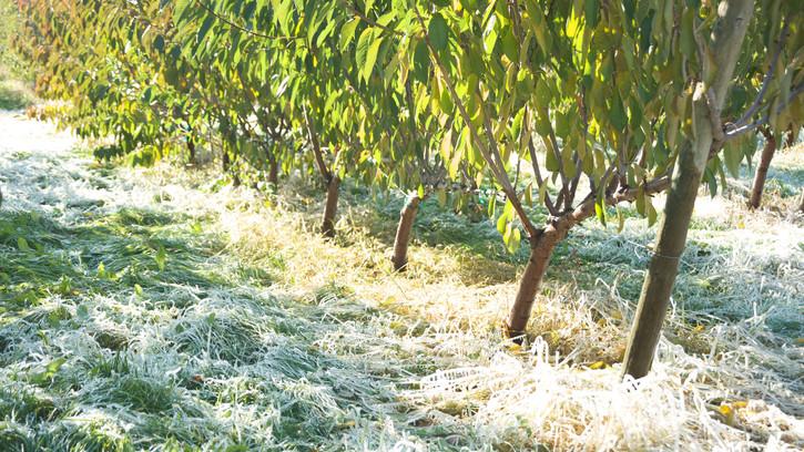 Veszteség Tolna megyében: elvitte a gyümölcsök nagy részét a tavaszi fagy