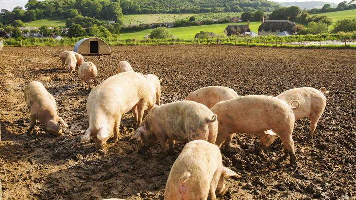 Jó hír a gazdálkodóknak: folytatódik a sertéságazatot támogató program