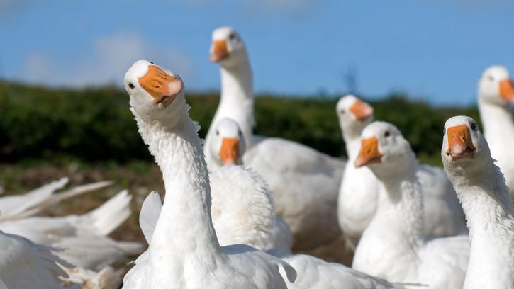 Több száz telepen pusztított a madárinfluenza: csak ezeknek a gazdáknak jár kártalanítás