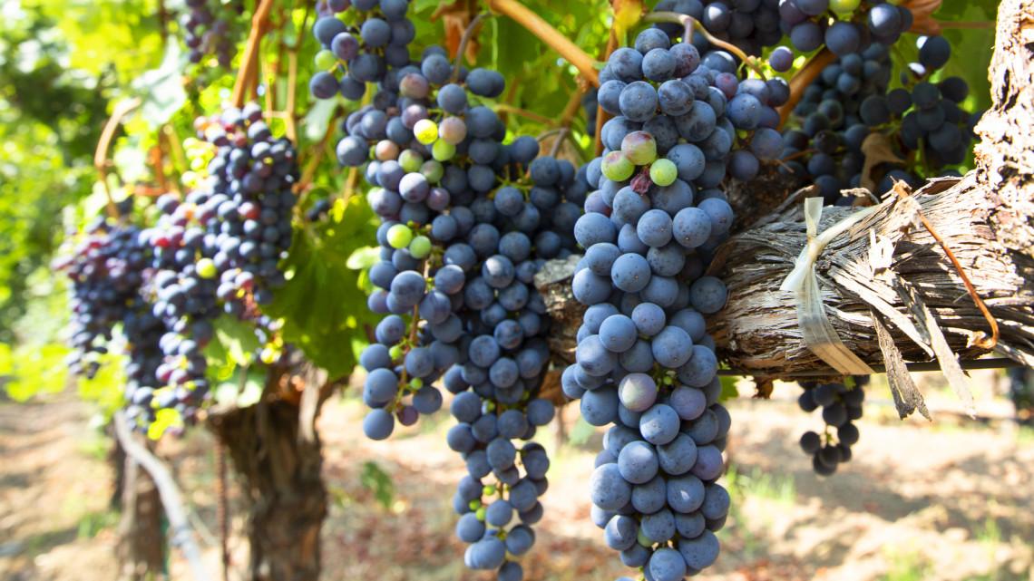 Túlélésért küzd a borágazat: egyedi módszert dolgoztak ki a 2020-as szezonra