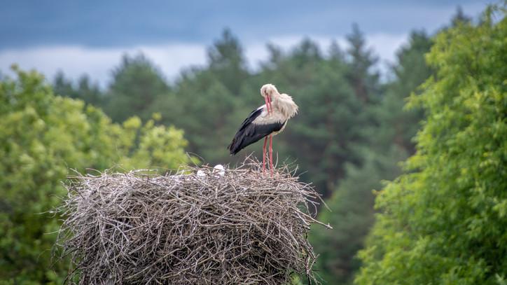 Gólya show: bohócfészket építenek a fiatal madarak